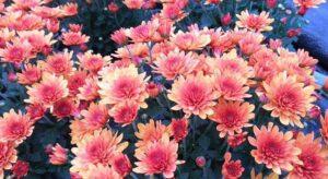 Októberi virágsztárunk a krizantém